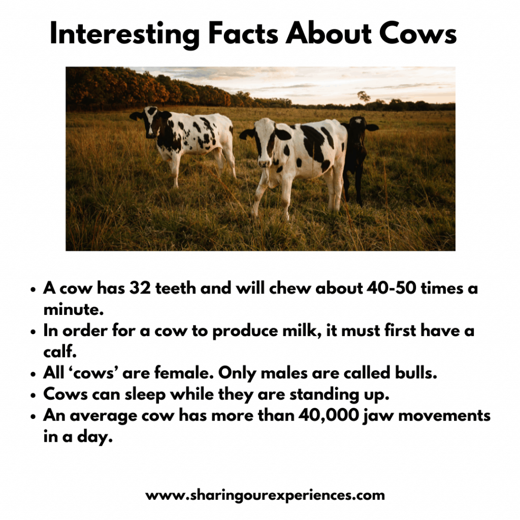 Fun and Interesting facts about pet and farm animals for kids- cow