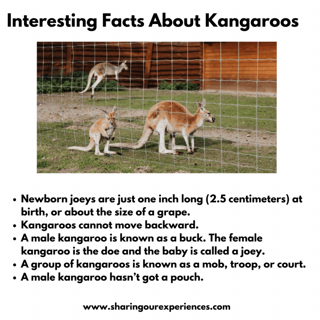 Fun And Interesting Facts About Animals For kids- Kangaroos