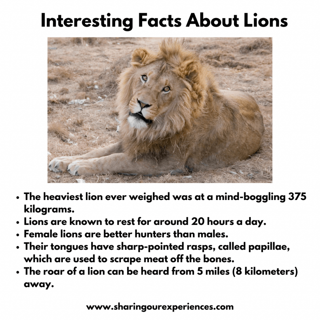Interesting Facts About Wild Animals For Kids - Lions