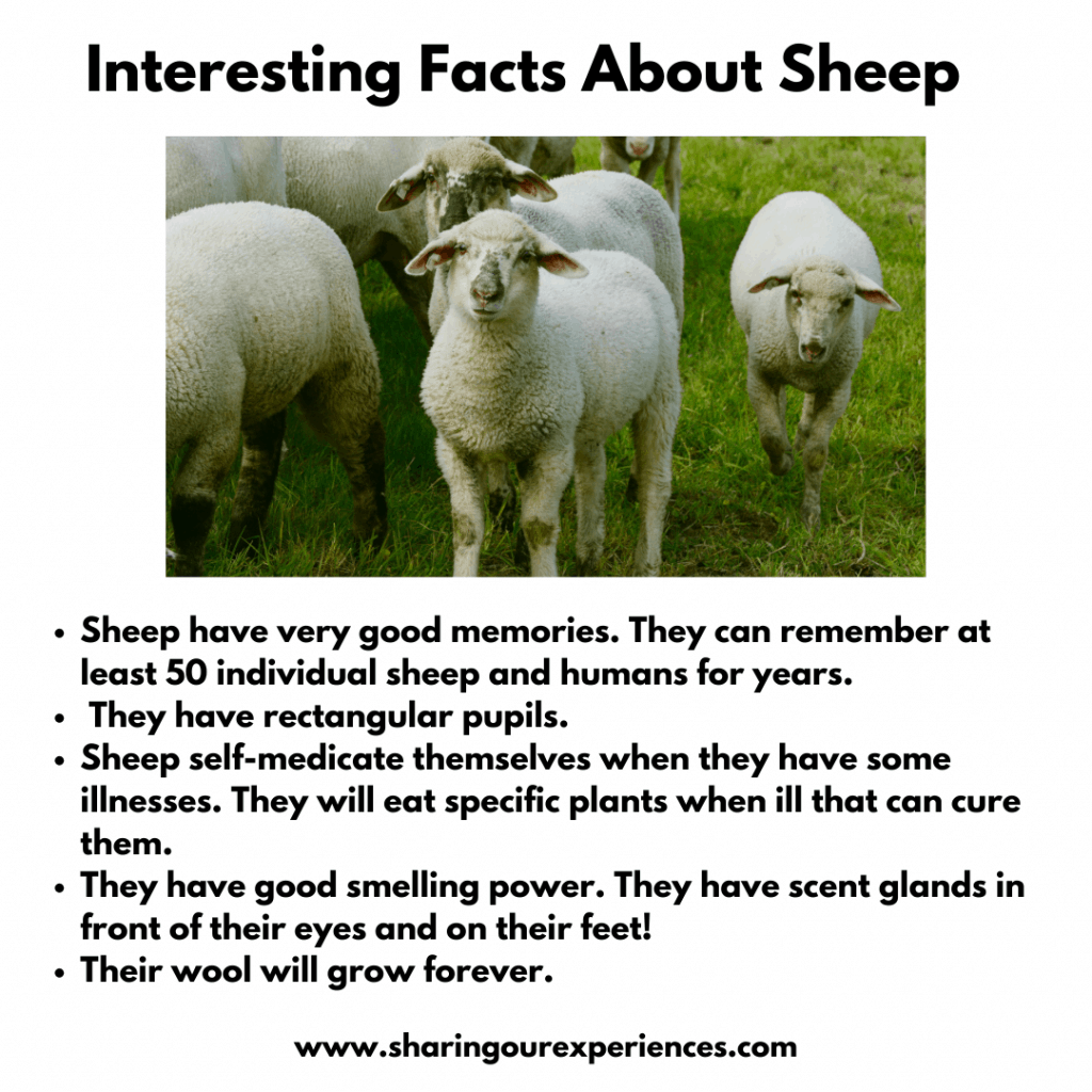 Fun and interesting facts about farm animals for kids- sheep